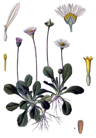 Pratolina ( Bellis perennis L.)