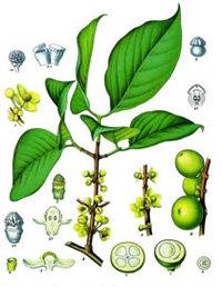 Garcinia cambogia t.t. (Garcinia cambogia (Gaertn.)Desr.
