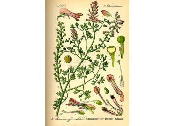 Fumaria sommità (Fumaria officinalis L.)