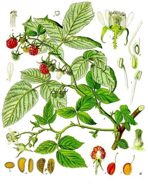 Lampone foglie t.t. (Rubus idaeus L.)