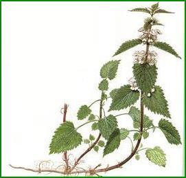 Lamio o Ortica bianca (Lamium album Hart.)