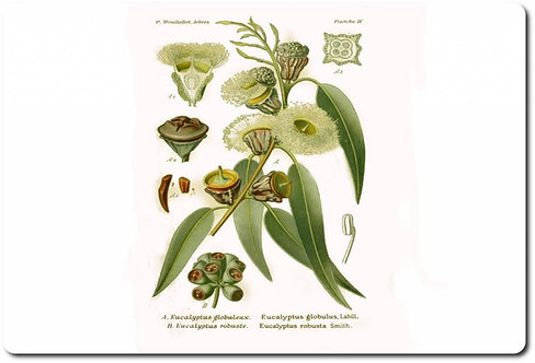Eucalipto foglie (Eucalyptus globulus L.)