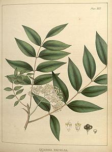 Quassia amara (Picrasma excelsa Planch.)
