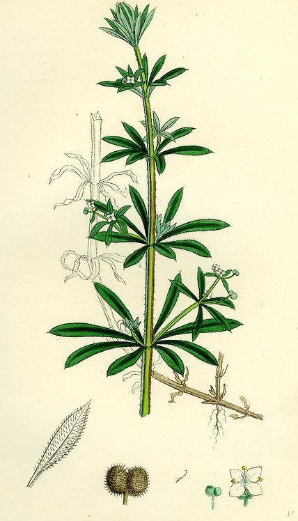 Galium (Galium aparine L.)