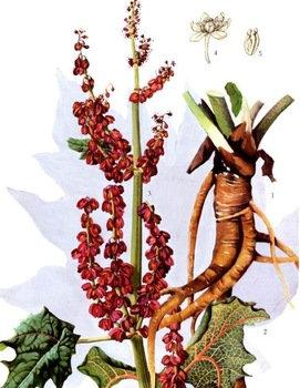 Rabarbaro taglio tisana (Rheum rhaponticum L.)