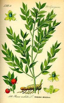 Rusco (Ruscus aculeatus L.)