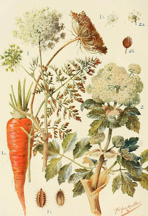 Carota frutti (Daucus carota L.)