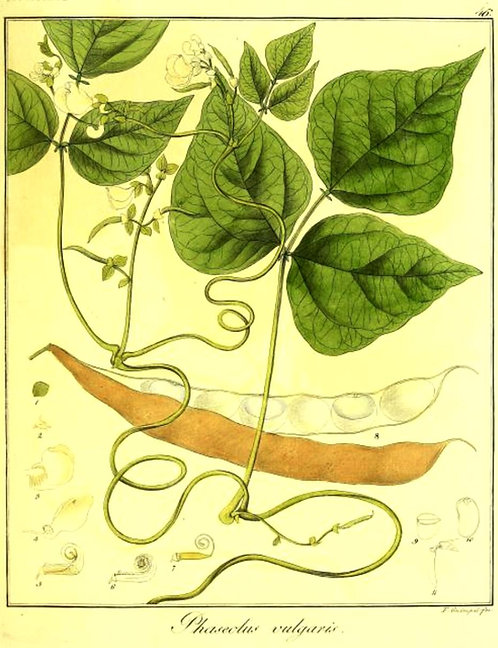 Fagiolo baccello (Phaseolus vulgaris L.)