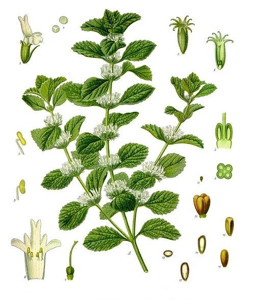 Marrubio volgare ( Marrubium vulgare L.)