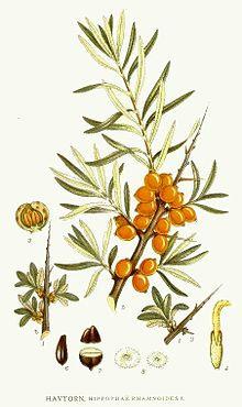 Olivello spinoso (Hippophae Rhamnoides L.)