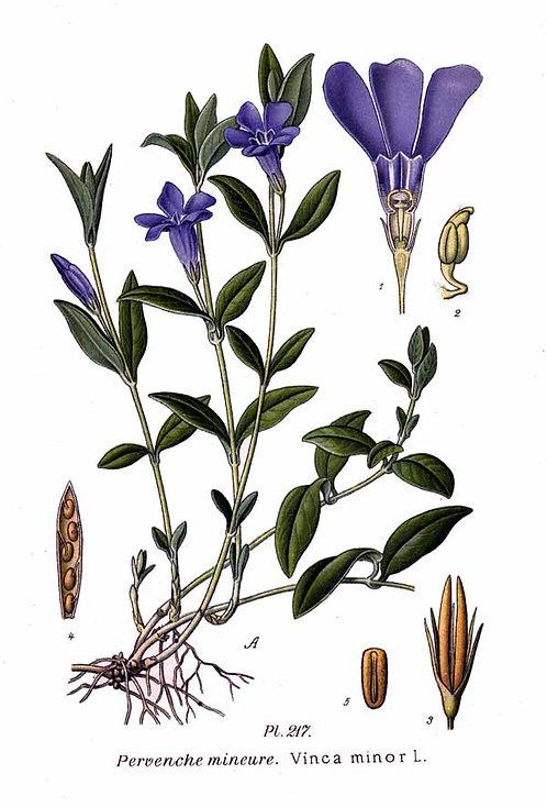 Pervinca (Vinca minor L.)