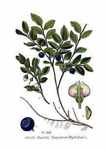 Mirtillo nero foglie ( Vaccinium myrtillus L.)