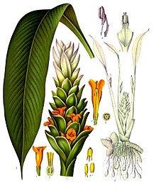 Curcuma rizoma t.t. (Curcuma longa L.)