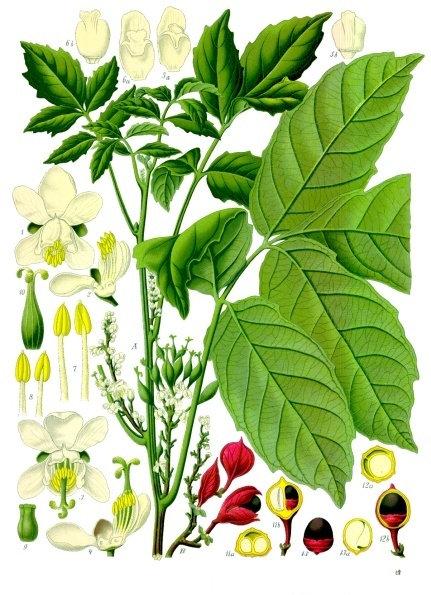 Guaranà polvere ( Paullinia cupana H.B.K.)