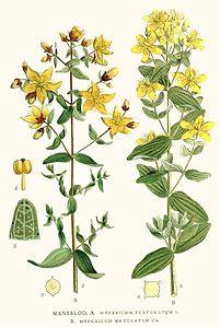 Iperico (Hypericum perforatum L.)