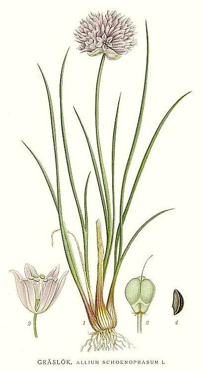 Erba cipollina (Allium Schoenoprasum L.)