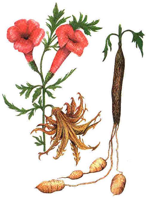Artiglio del diavolo radice t.t. (Harpagophytum procumbens D.C.)