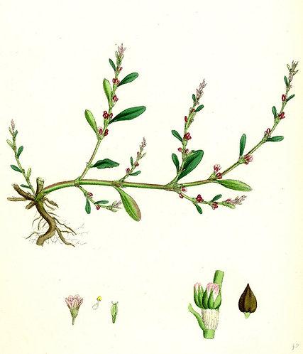 centinodia (correggiola) Polygonum aviculare L.