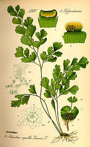 Capelvenere marino (Adiantum capillus-veneris L.)
