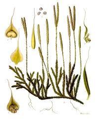 Licopodio spore polvere (Lycopodium clavatum L.)