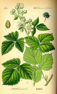 Rovo (Rubus fruticosus L.)