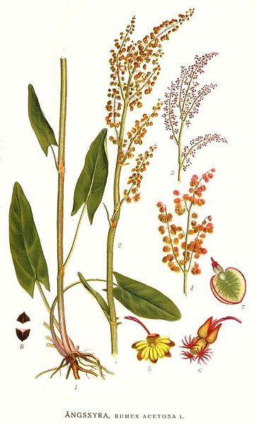 Acetosa (Rumex acetosa L.)