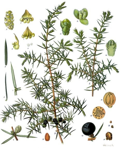 Ginepro bacche (Juniperus communis L.)