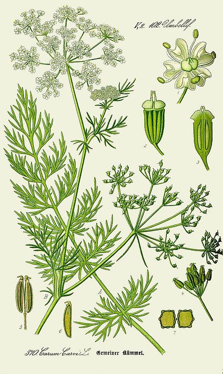 Kummel (Carum carvi L.)