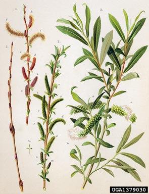 Salice rosso (Salix purpurea L.)