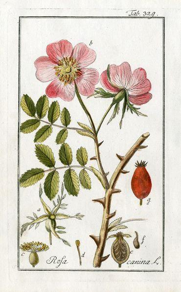 Rosa canina (Rosa canina L.)