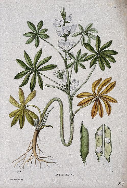Lupino seme tagliato (Lupinus albus L.)