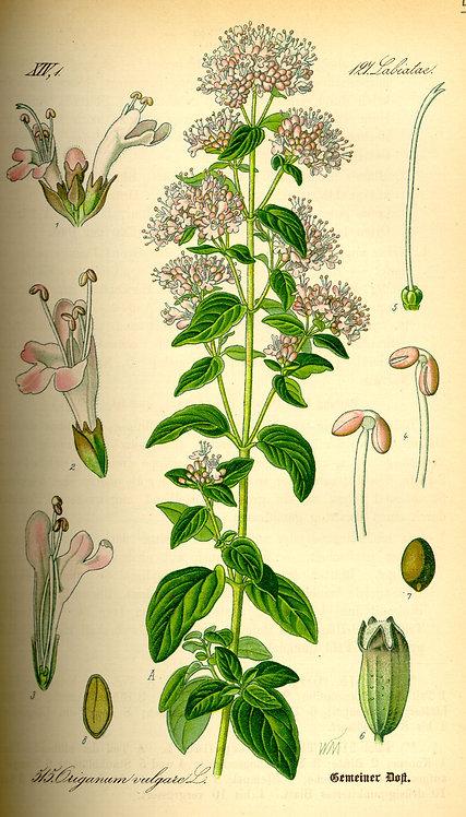 Origano (Origanum vulgare L.)