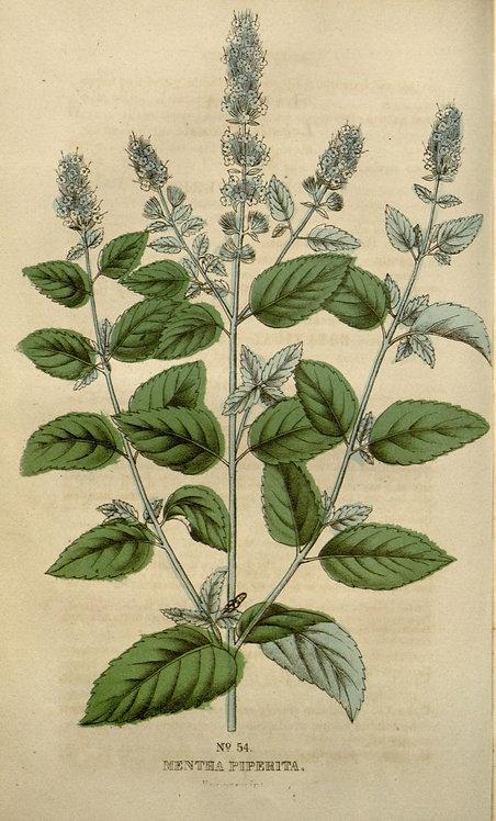 Menta piperita (Menta piperita L.)