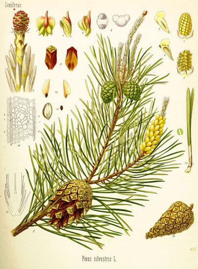 Pino gemme taglio tisana (Pinus sylvestris L.)