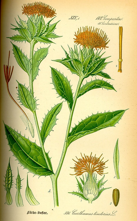 Cartamo o Zafferanone (Carthamus tinctorius L.)