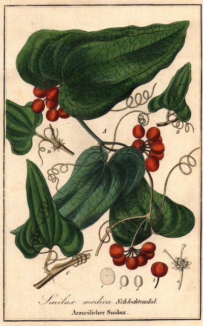 Salsapariglia (Smilax medica Schl.et Cham.)