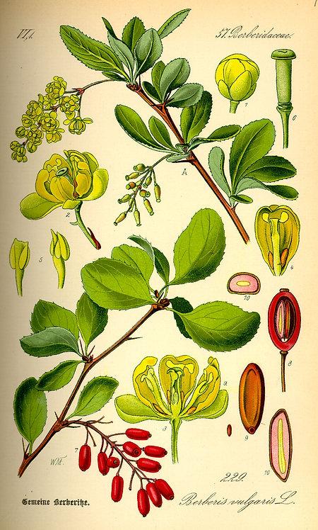 Crespino corteccia dei rami (Berberis vulgaris L.)