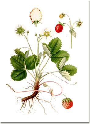 Fragola foglie (Fragaria vesca L.)