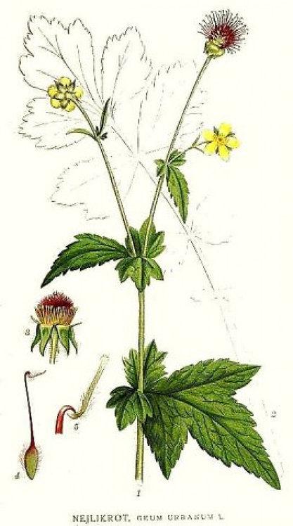 Cariofillata (Geum urbanum L.)