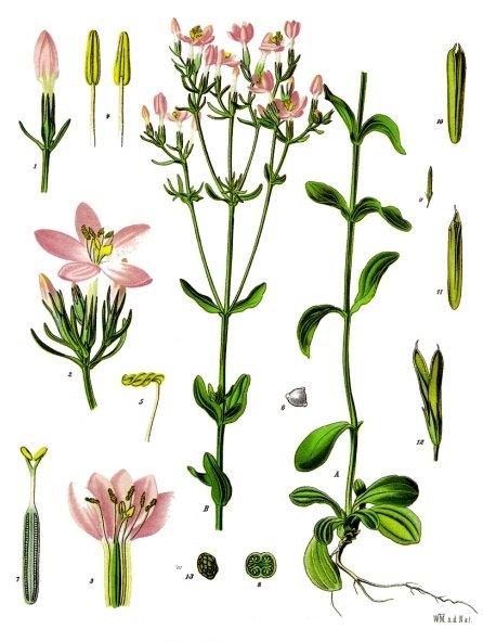 Centaurea minore erba (Centaurium erythraea Rafn.)