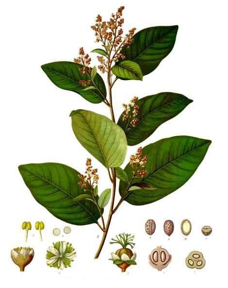Cascarilla corteccia (Croton eleuteria Benn.)