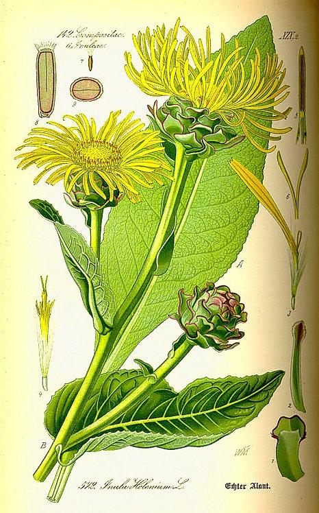 Enula campana (Inula helenium L.)