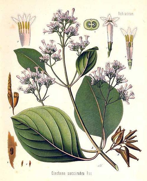 China corteccia (Cinchona succirubra Pav.)