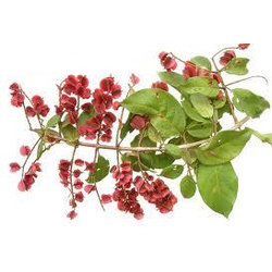 Combretto pianta (Combretum micranthum G.Don)