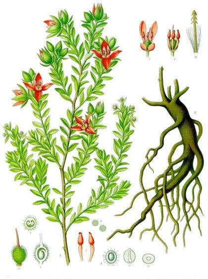 Ratania (Krameria triandra Ruiz et Pav.)