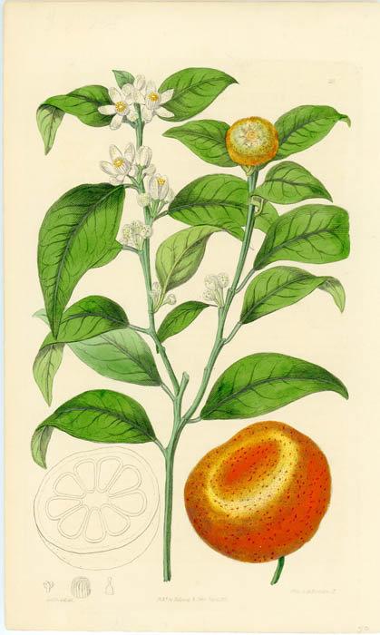 Mandarino scorza ( Citrus nobilis Lour.)