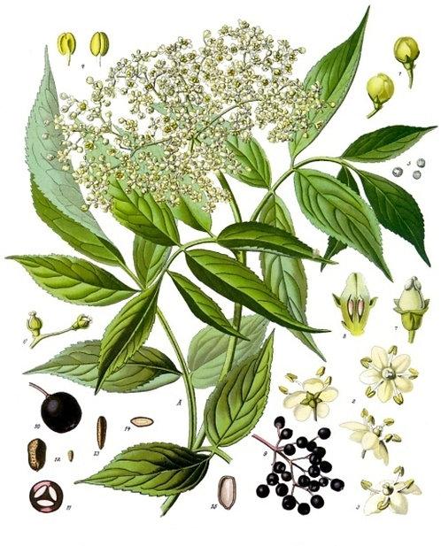 Sambuco (Sambucus nigra L.) fiori