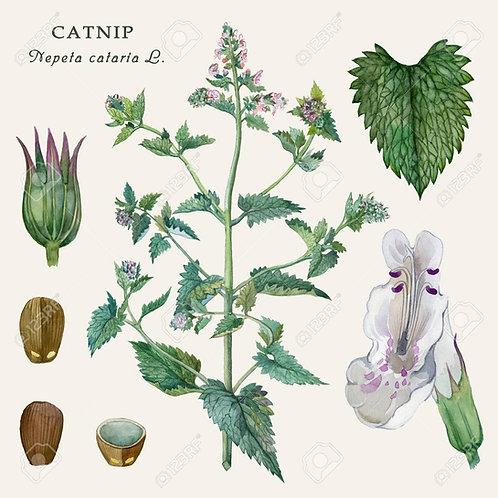 Nepeta cataria ( Nepeta cataria L.)