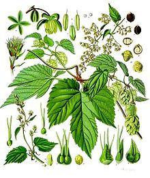 Luppolo (Humulus lupulus L.)