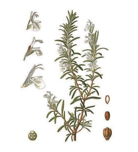 Rosmarino (Rosmarinus officinalis L.)